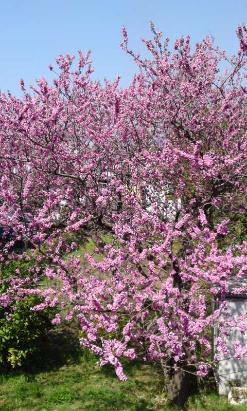 H22走水桃の花.JPG
